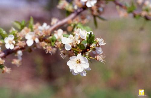 Bachblüte Nr. 6 Cherry Plum